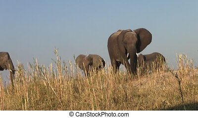 Elephant Herd at Chobe NP, Botswana