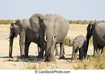 Elephant herd greeting at waterhole on a dry and hot day