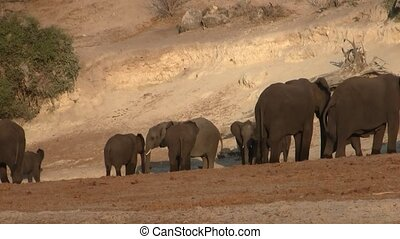 Elephant Herd on the Banks of the River Chobe