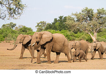 Elephant herd - A herd of african elephants walking behind...