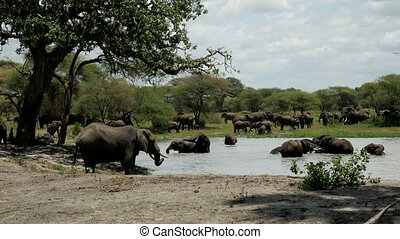 Elephant herds have fun in the water. Serengeti National Park, Tanzania.