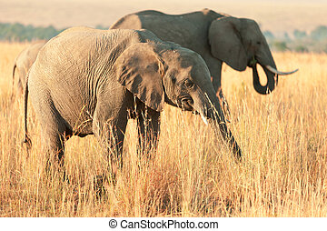 Elephant at sunset in Amboseli national park in Kenya