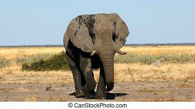 Majestic wild African Elephant in Savuti - Chobe Game reserve. Botswana, Africa wildlife safari.