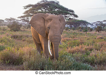 Elephant in front of Kilimanjaro, Amboseli, Kenya.
