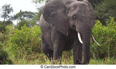 Elephant in Green Landscape of African Savanna. Animal in Natural Habitat