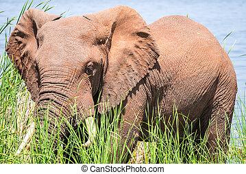 Elephant in Kenya, Africa