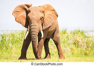 Elephant in Kenya, Africa