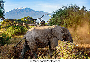 Elephant in Kenya with Kilimanjaro mount in the background, Africa