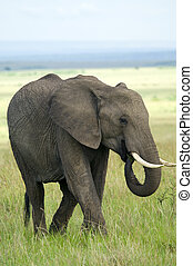 Elephant in masai mara national park, Kenya.