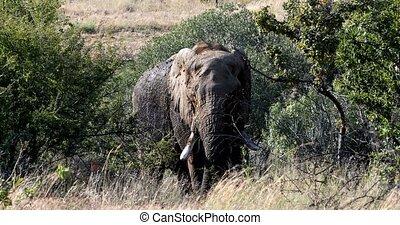 Majestic wild African Elephant in Pilanesberg Game reserve. South Africa wildlife safari.