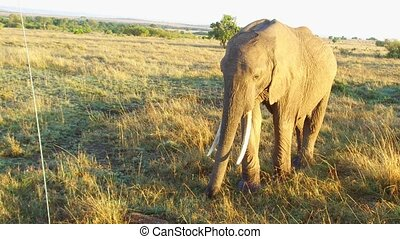 elephant in savanna at africa