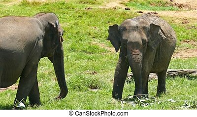 Elephant in Sri Lanka - Elephants at the Pinnawala Elephant...