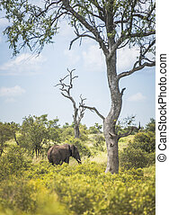 elephant in th south africa nature