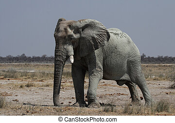 Elephant in the Etosha National Park, Namibia
