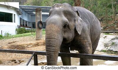 Elephant in the pen in Khao Kheow Open Zoo. Thailand.