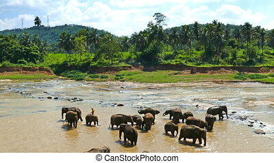 Elephant in the river - Sri Lanka