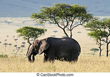 Elephant in the Savannah - Elephant walking through the...