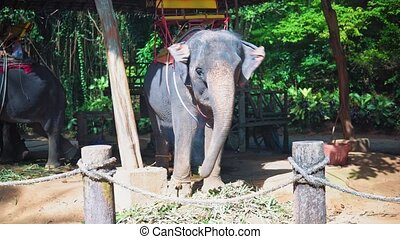elephant in the service of people, traveler and tourists ride on elephants through the jungle, safari park