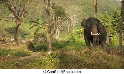 Elephant in the wild - Elephant eats grass in the wild