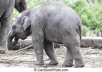 elephant., indiano