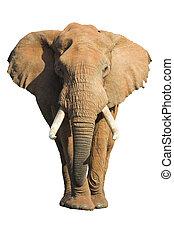Elephant Isolated - Male African Elephant isolated on white...