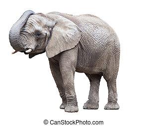 elephant isolated.