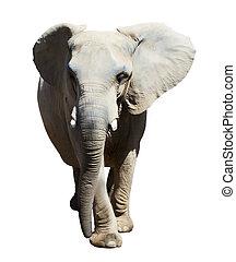 elephant., isolato, sopra, bianco