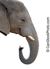 Elephant jumbo head isolated on white background