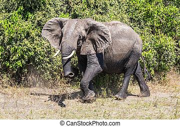 Elephant - loner on watering