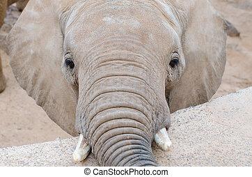 Elephant looking at camera, horizontal photo.