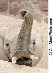 Elephant looking at camera, vertical photo.