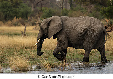 Elephant (Loxodonta africana) in the Okavango Delta,...
