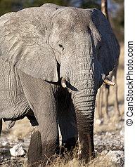 Elephant (Loxodonta africana) - Namibia
