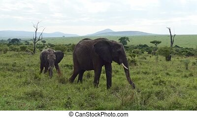 Elephant mother and calf. A cute baby elephant calf hanging around with adult elephants. African Elephants herd feeding. Family of Elephants on the Move. Wildlife in savanna, Kenya, Africa
