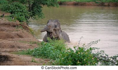 Elephant mud splash and taking bath in river, Sri lanka national park