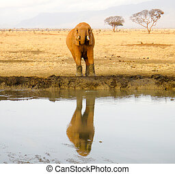 Elephant near the watering place in savanna. Reflection on the water. Eastern Africa