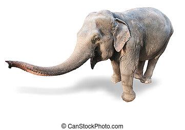 Elephant on a white background