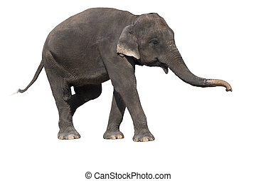 Elephant on a white background with clipping path.