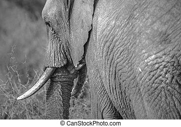 Elephant on black and white