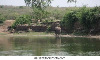 Elephant on Kazinga Channel, Queen Elizabeth National Park,...