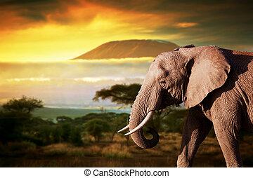 Elephant on savanna. Mount Kilimanjaro at sunset in the background