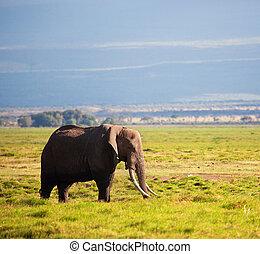 Elephant on savanna. Safari in Amboseli, Kenya, Africa -...