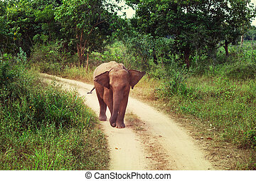 Elephant on Sri Lanka