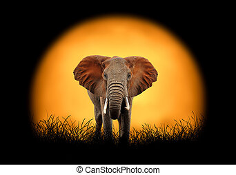 Elephant on the background of sunset