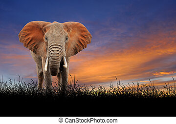 Elephant on the background of sunset sky
