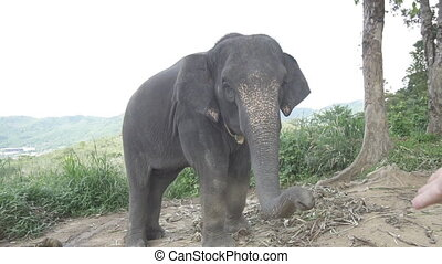 Elephant on the hill in Phuket - Beautiful elephant baby on...