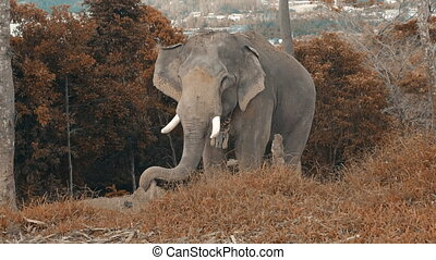Elephant on the hill in Phuket - Beautiful elephant on the...