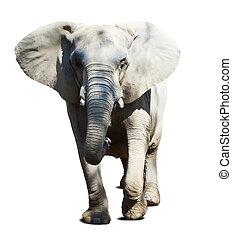 elephant over white background