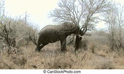 Elephant pussed small tree in Krugerpark in South Africa