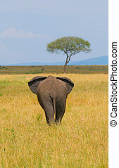 elephant, rear view